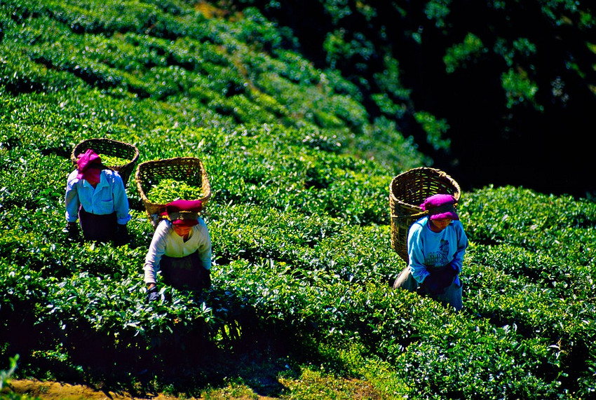 glendale_tea_estate